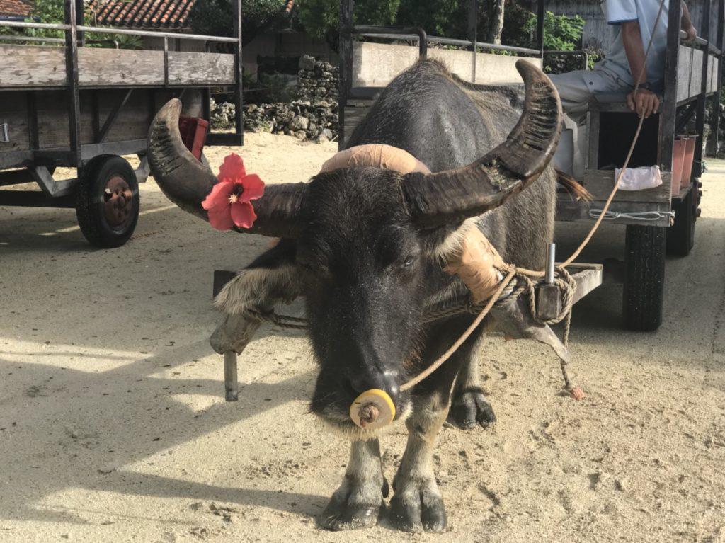 竹富島観光の水牛