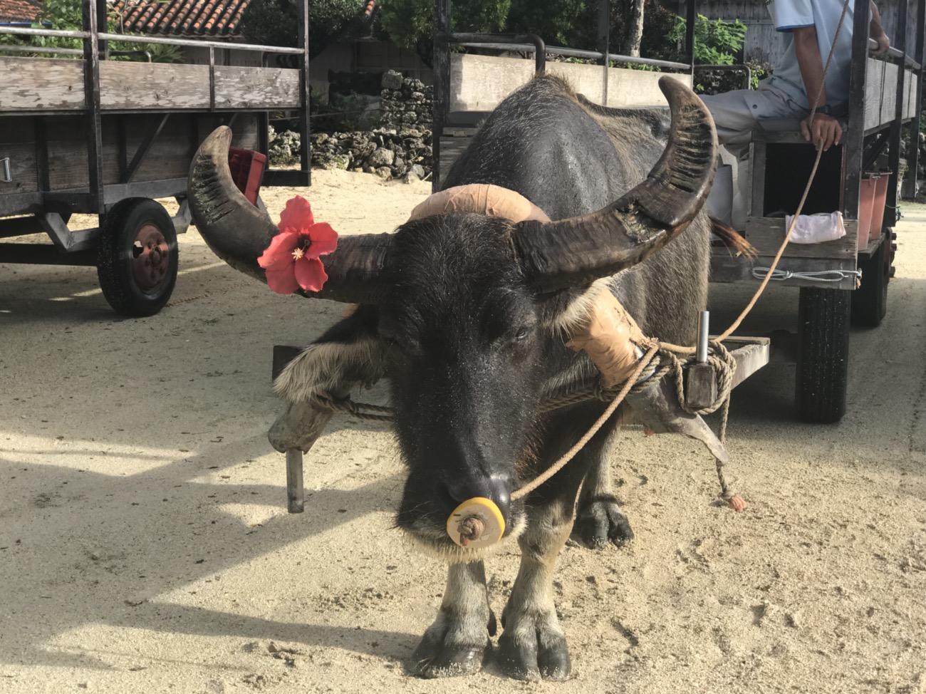 竹富島観光 大人10人ほど乗っている車を引く水牛