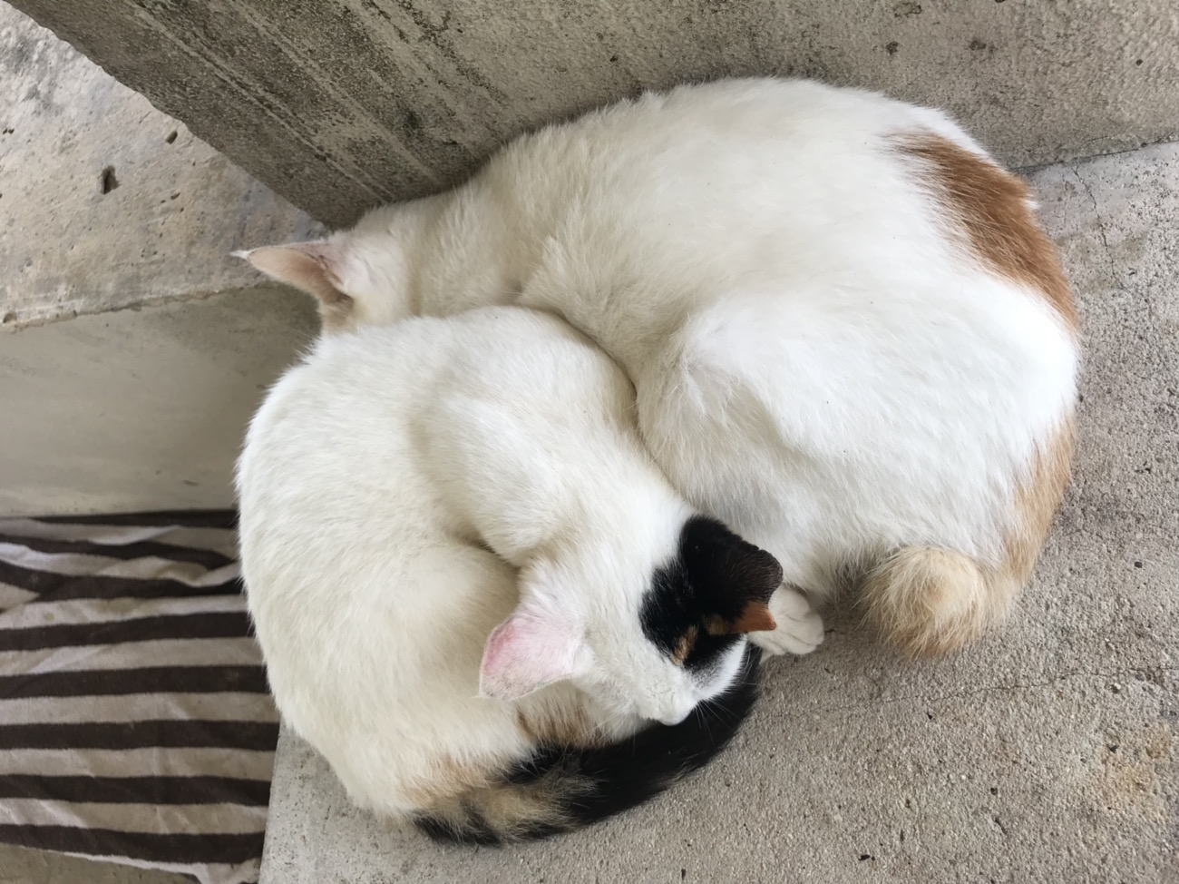 竹富島観光 猫
