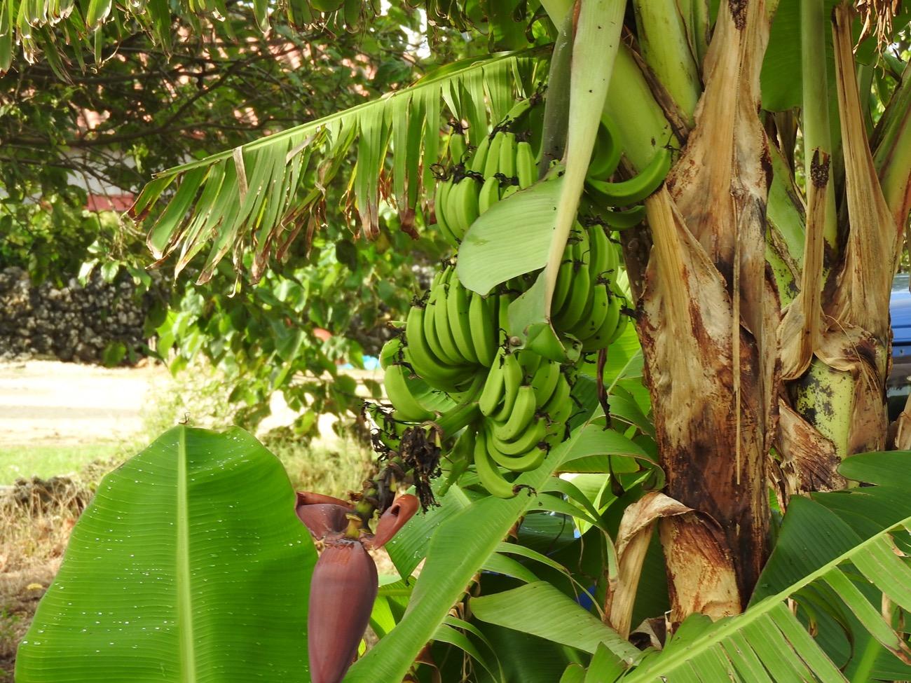 竹富島の島バナナ