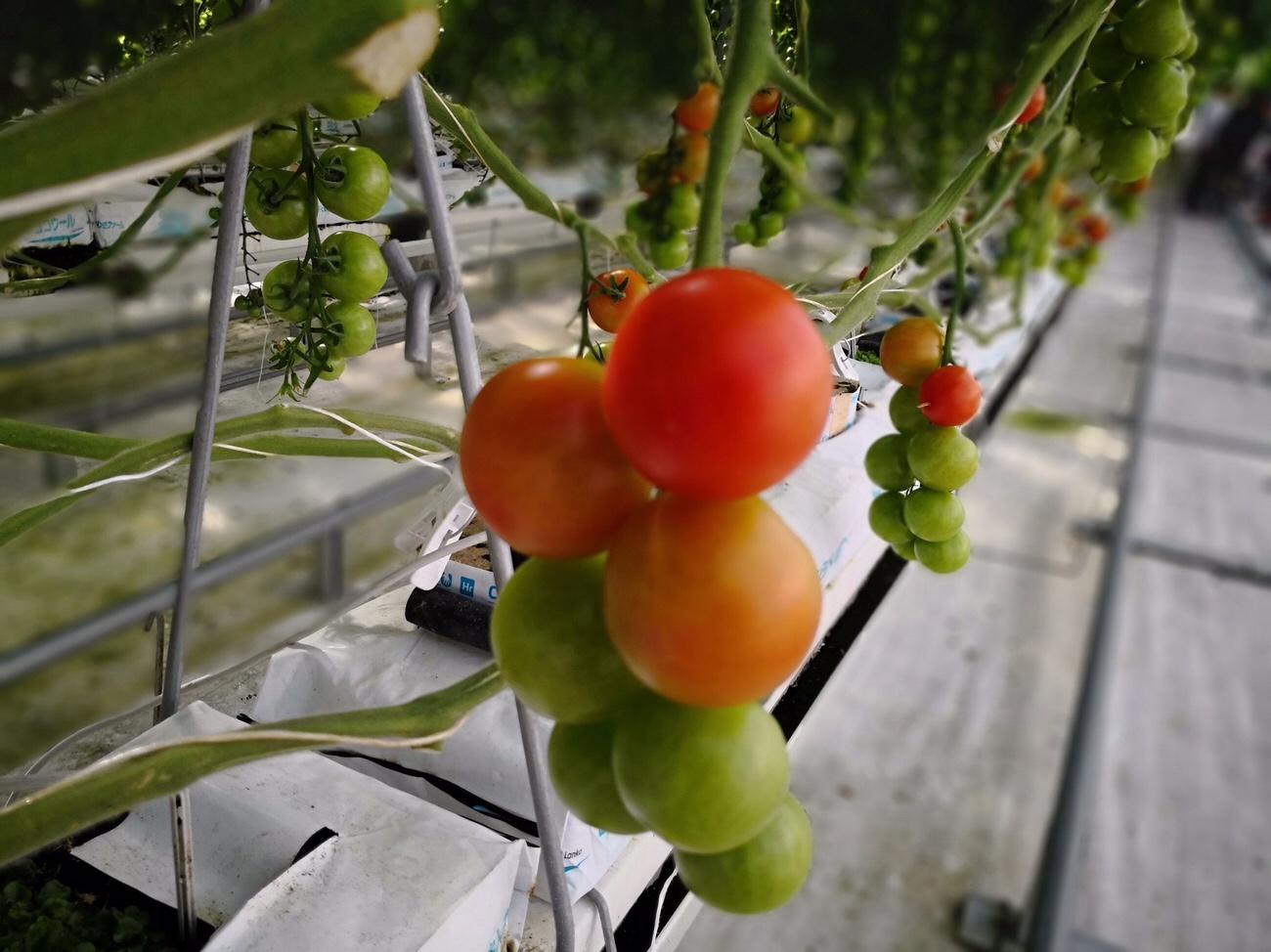 ワンダーファームのトマト
