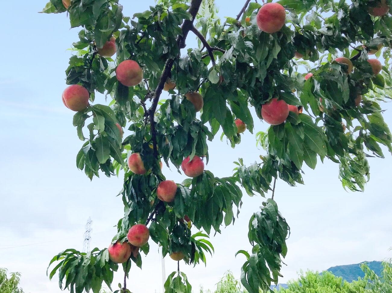 山梨あすなろ園の桃狩り