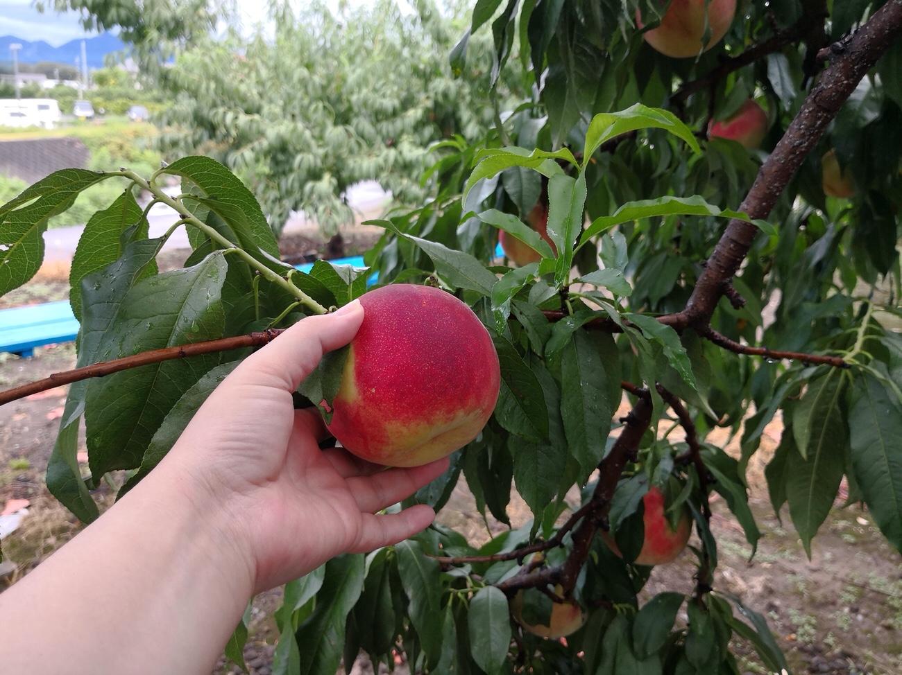山梨桃狩り桃食べ放題